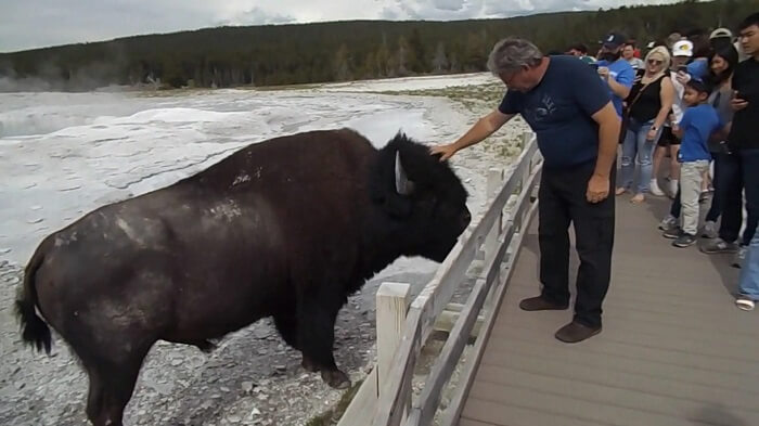 Tourist Tumbles in Yellowstone National Park to Avoid Charging Bison