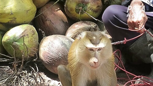 PETA concluded that monkeys were picking coconuts
