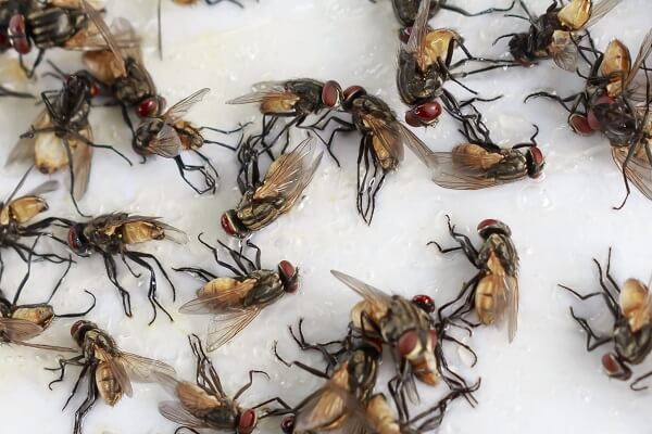 fly die due to starvation