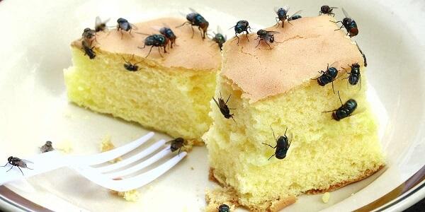 foods do flies eat