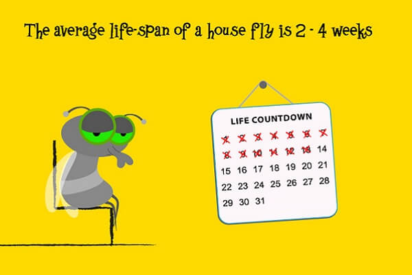life span of a fly