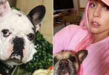 Lady Gaga's French bulldogs stolen