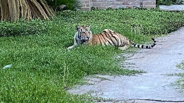 House Tiger has Been Caught and is Unharmed