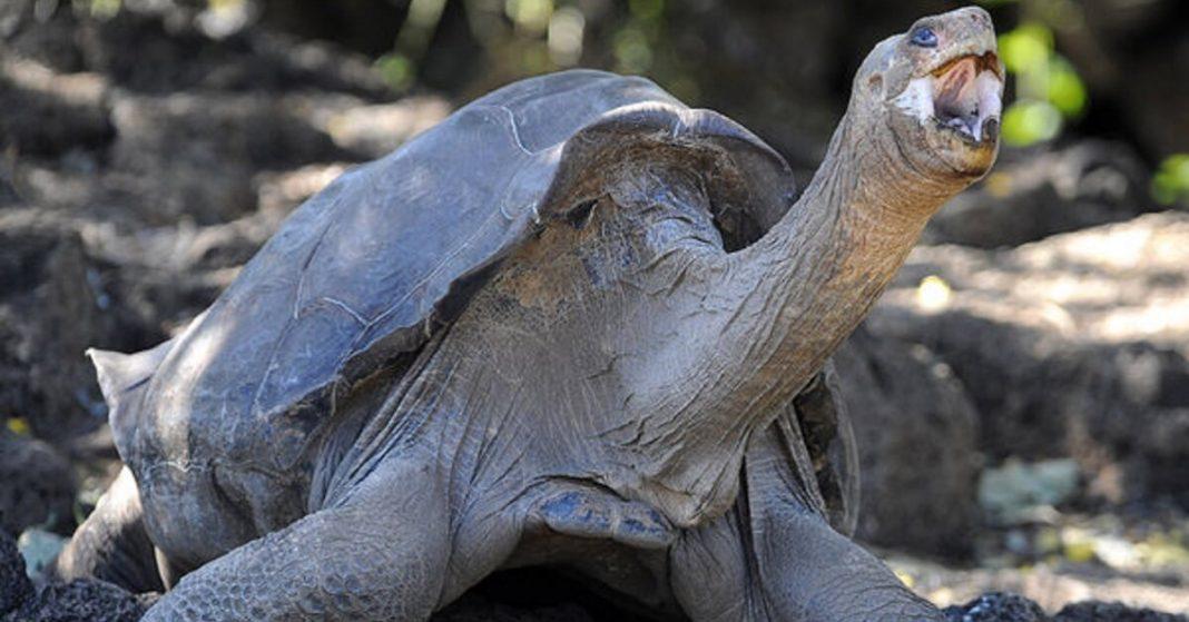 A giant Seychelle tortoise slowly gulped down a chick's head.