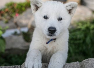 South Korea is now appointed as first honorary rescue dog